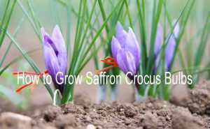 How to Grow Saffron at home