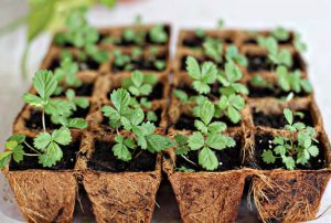 how to grow strawberries from seeds
