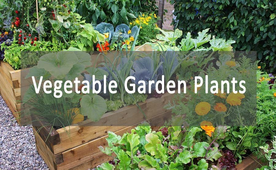 vegetable garden plants