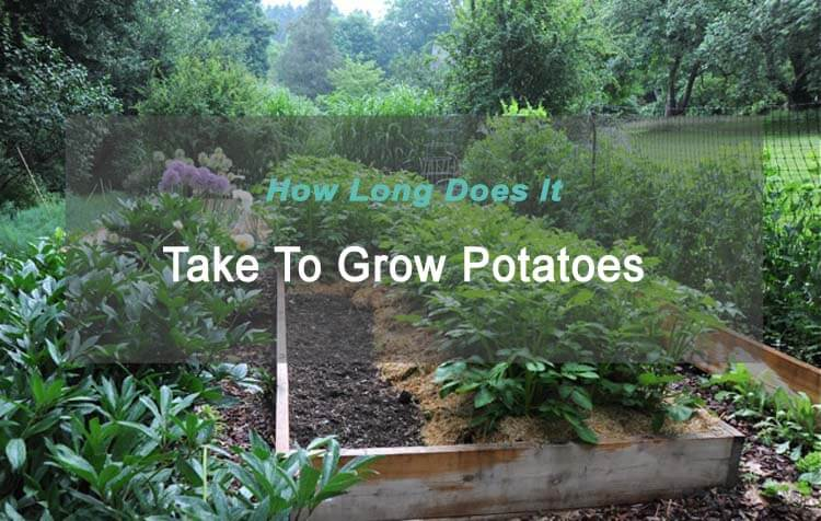 How Long Does Potatoes Take To Grow Mygardenplant
