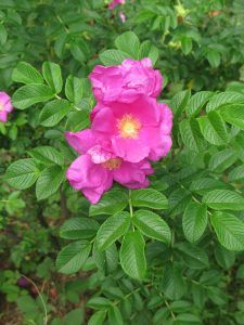 Rosa Rugosa - Deer-Proof Gardens