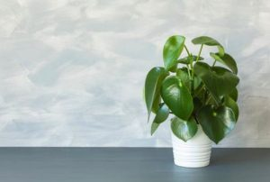 Facts About Peperomia Polybotrya