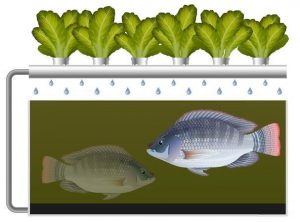 How Aquaponics Work