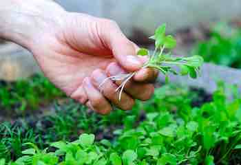 What you Need to Grow Microgreens