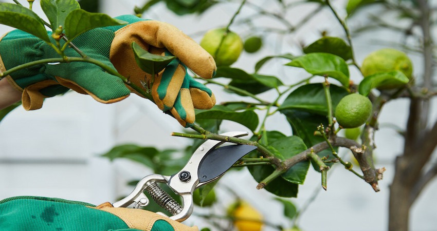 How to Care for Lemon Tree Indoors