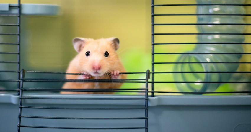 Is the Succulent Plant Safe for Hamsters