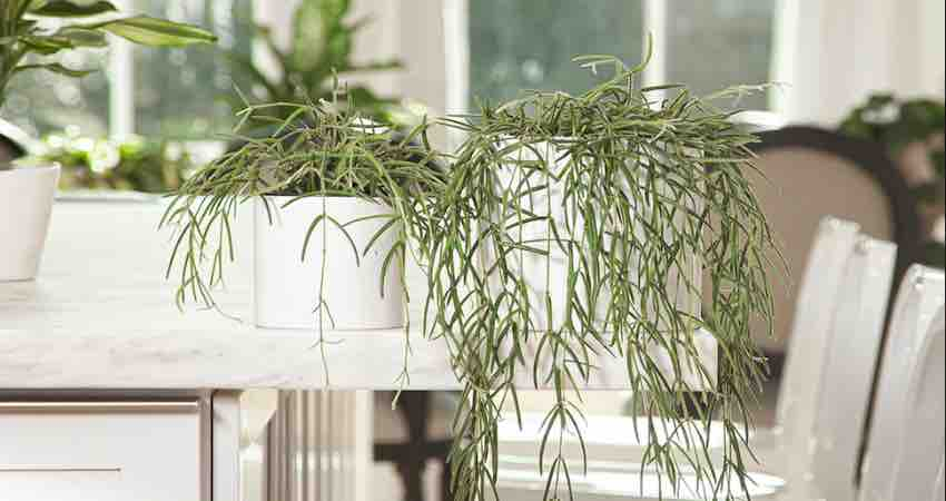 The Ultimate Care Guide for Hoya Linearis Plant