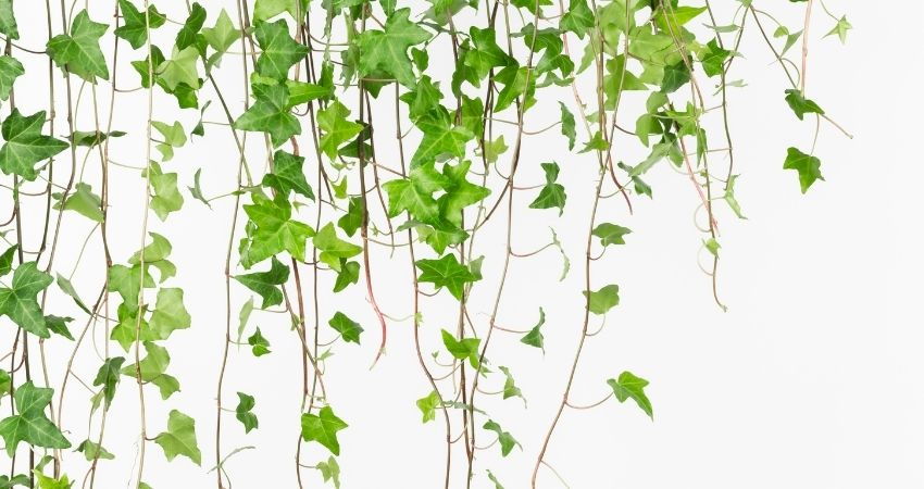 How Fast Does English Ivy Grow