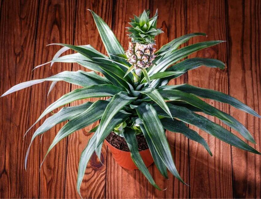 Indoor Pineapple Plant Care