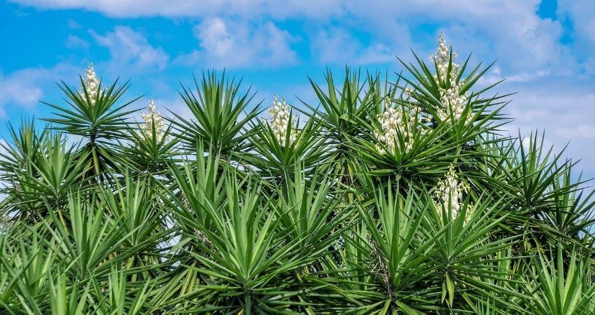 Types Of Yucca Plants