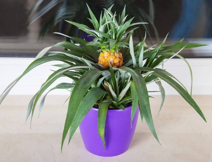 Why Grow Pineapple Indoors