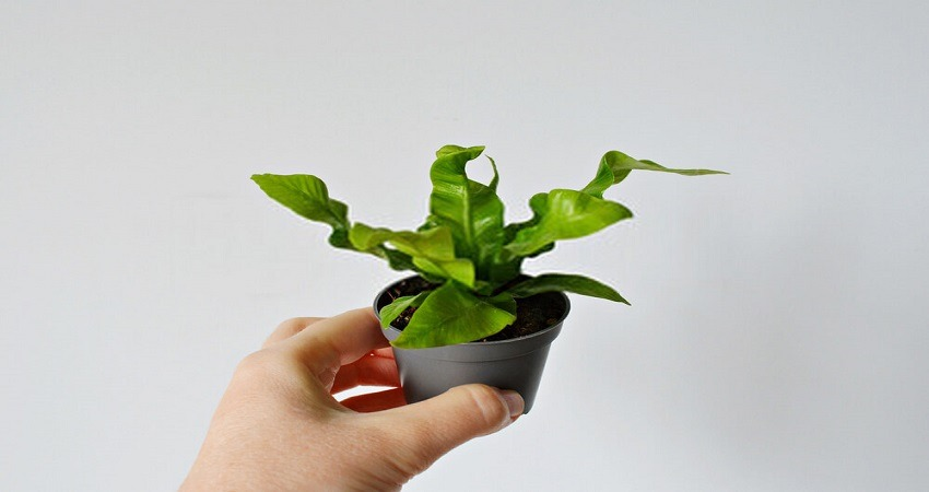 How To Care For A Crispy Wave Fern