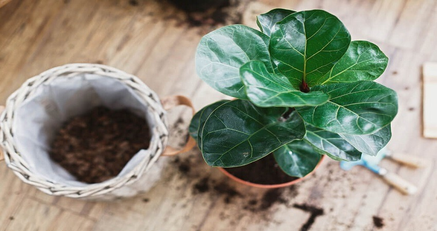 How To Care For A Ficus Lyrata