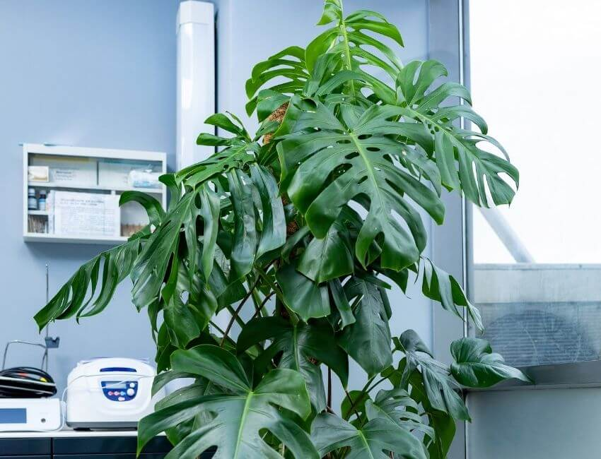 What does my cheese plant eat
