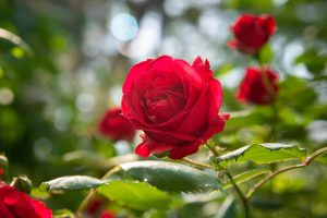 Common problems in rose bushes and how to treat them