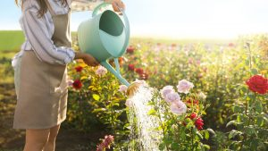 How Often to Water Roses