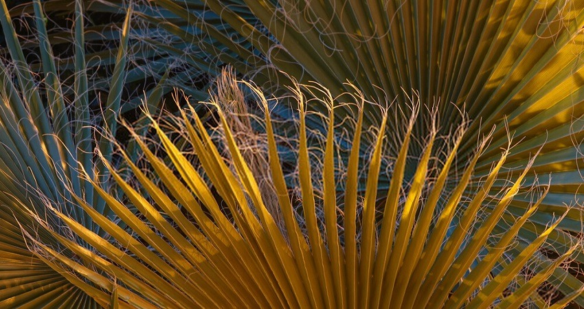 Majesty Palm Leaves Turning Yellow or Brown