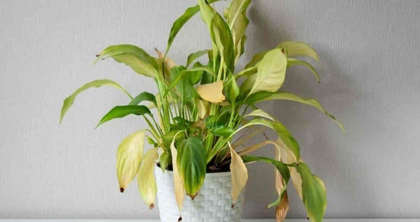 Peace Lily with Yellow Leaves