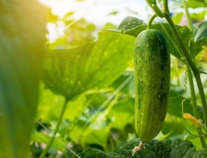 Selecting the cucumbers