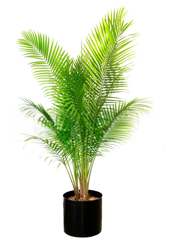 What is a Majesty palm