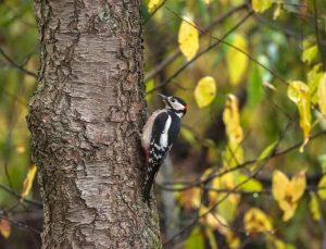Why do woodpeckers peck at trees