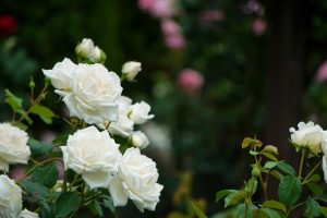 Moving your rosebush in the summer